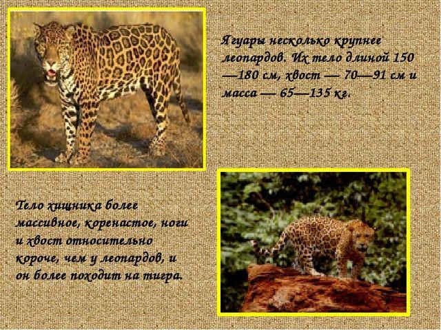 Ягуары несколько крупнее леопардов. Их тело длиной 150—180 см, хвост — 70—91...
