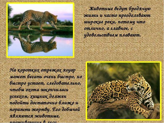 Животные ведут бродячую жизнь и часто преодолевают широкие реки, потому что о...