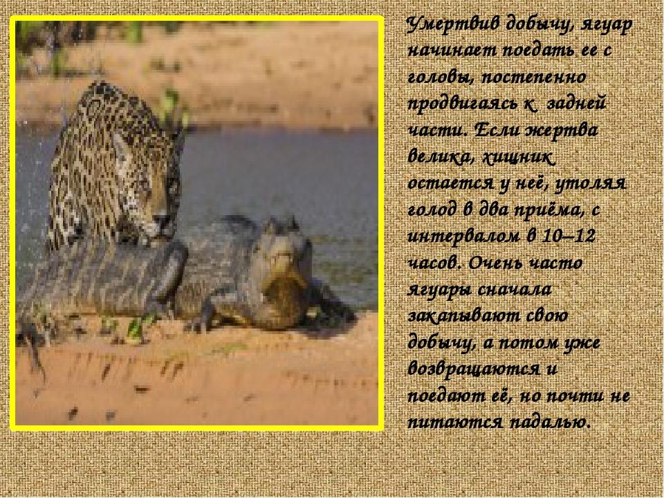 Умертвив добычу, ягуар начинает поедать ее с головы, постепенно продвигаясь к...