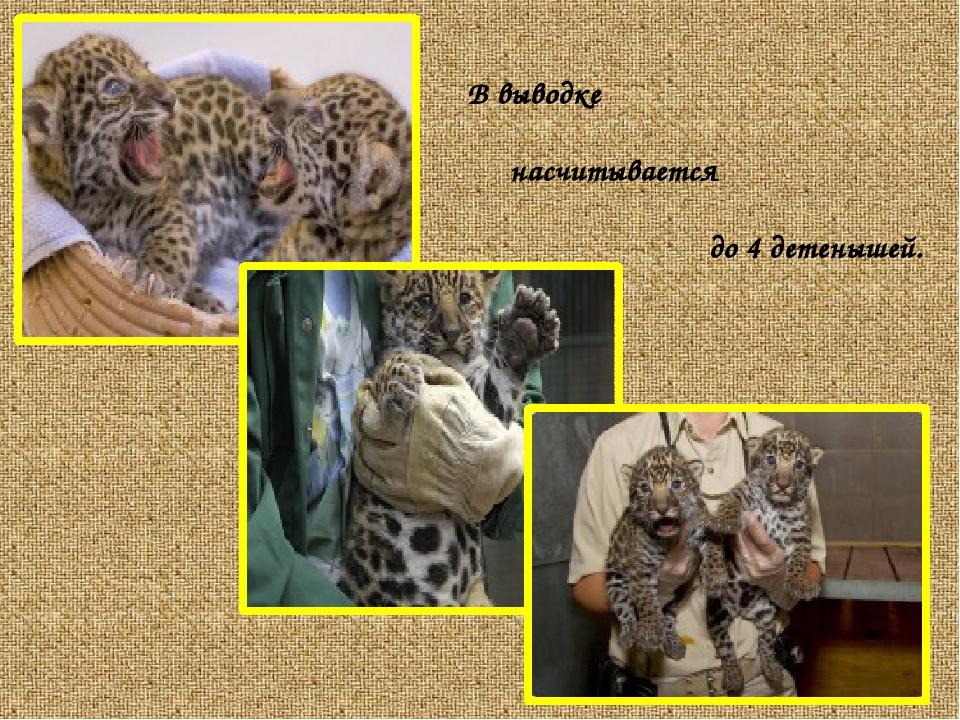 В выводке насчитывается до 4 детенышей.
