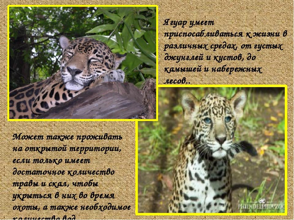 Ягуар умеет приспосабливаться к жизни в различных средах, от густых джунглей...
