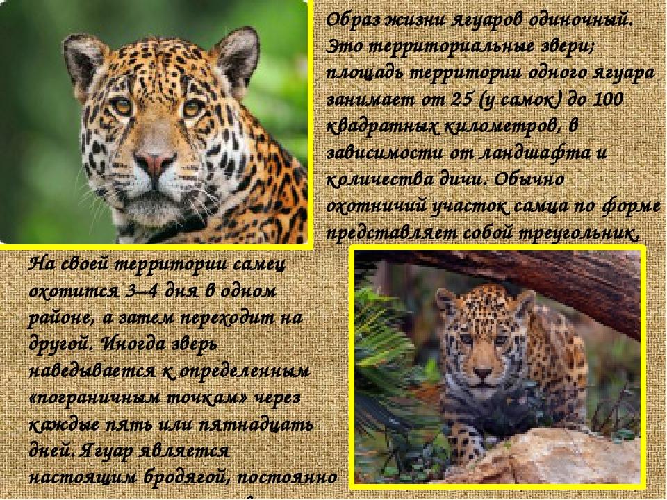 Образ жизни ягуаров одиночный. Это территориальные звери; площадь территории...