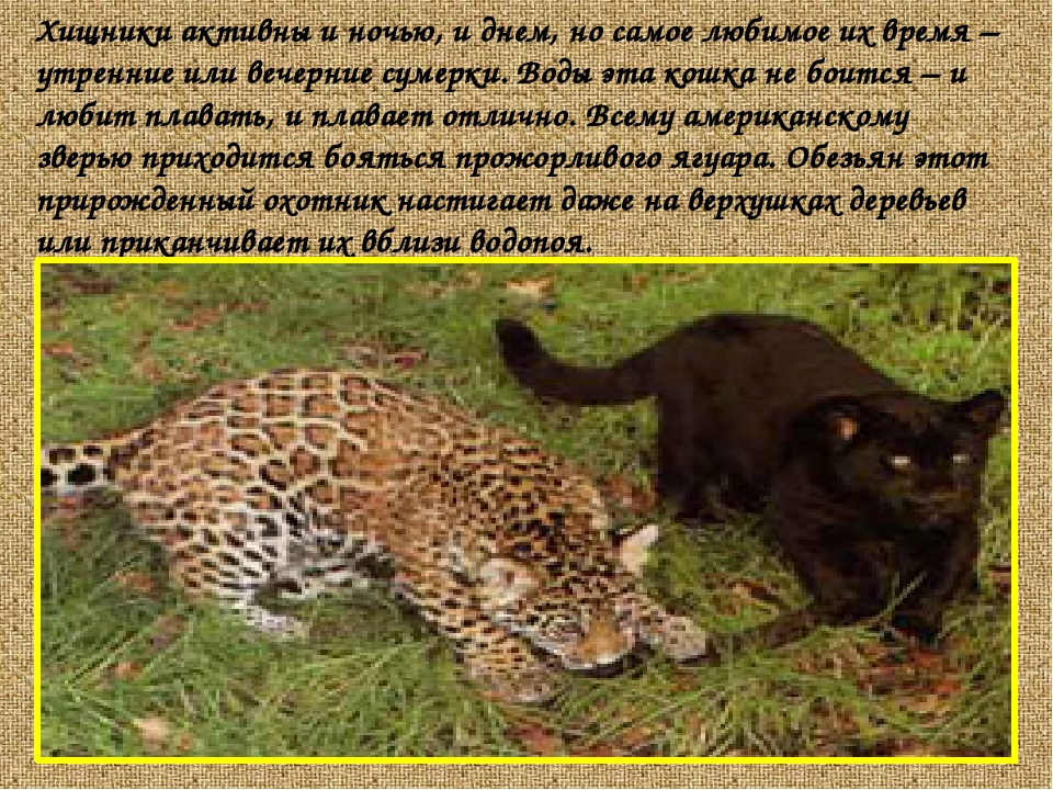 Хищники активны и ночью, и днем, но самое любимое их время – утренние или веч...