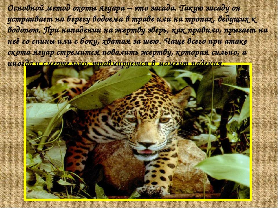 Основной метод охоты ягуара – это засада. Такую засаду он устраивает на берег...