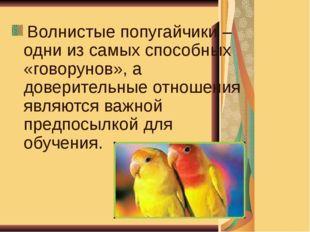 Волнистые попугайчики – одни из самых способных «говорунов», а доверительные