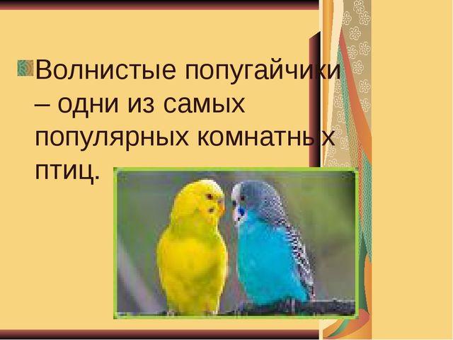 Волнистые попугайчики – одни из самых популярных комнатных птиц.