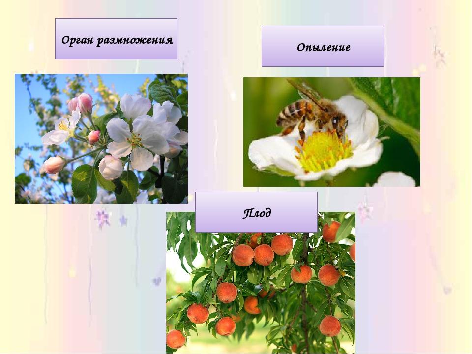 Орган размножения Опыление Плод