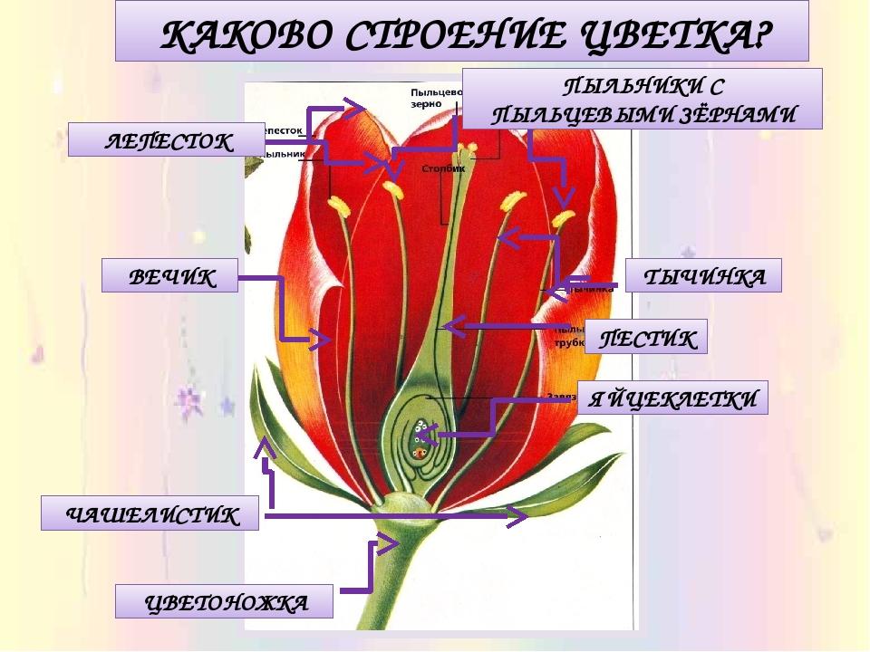 картинки тюльпана и розы в чем заключается россии картинках изображены