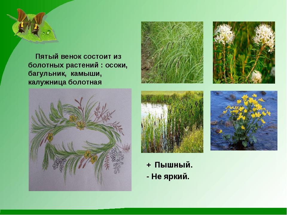 Пятый венок состоит из болотных растений : осоки, багульник, камыши, калужни...