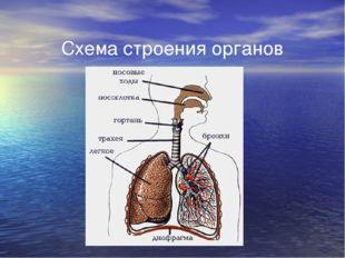 Схема строения органов дыхания
