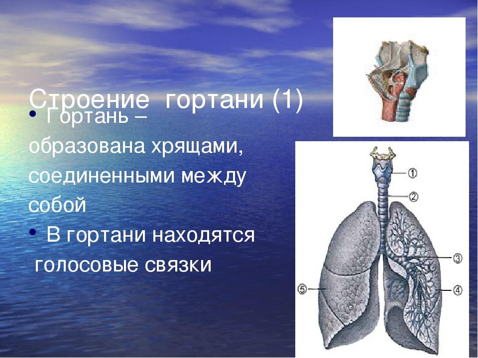 Строение  гортани (1)   Гортань –  образована хрящами,  соединенными между...