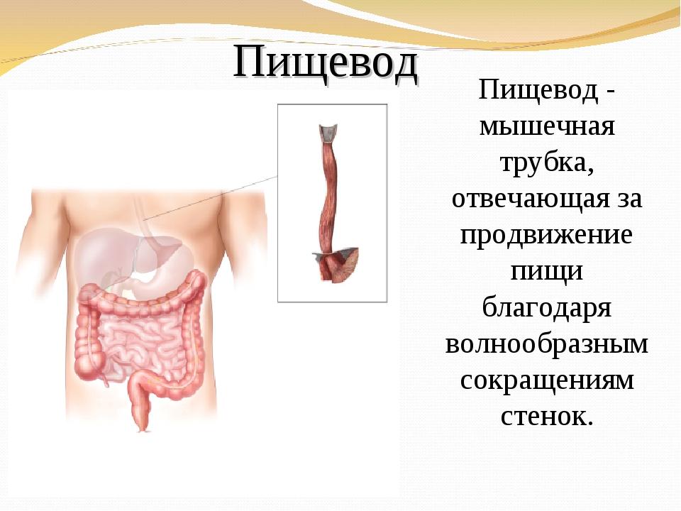 Пищевод Пищевод - мышечная трубка, отвечающая за продвижение пищи благодаря в...