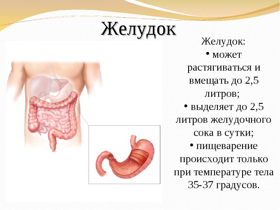 Желудок Желудок: может растягиваться и вмещать до 2,5 литров; выделяет до 2,5...