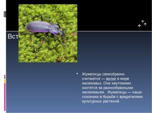 Жужелицы своеобразно считаются —волкив мире насекомых. Они неутомимо охотя
