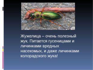 Жужелица – очень полезный жук. Питается гусеницами и личинками вредных насек