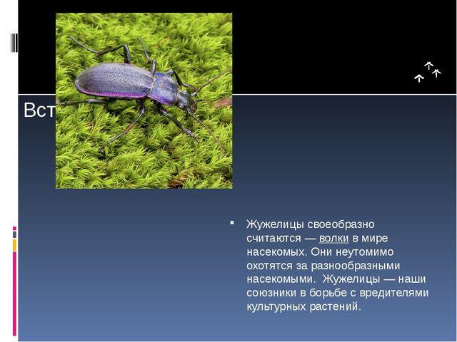 Жужелицы своеобразно считаются —волкив мире насекомых. Они неутомимо охотя...