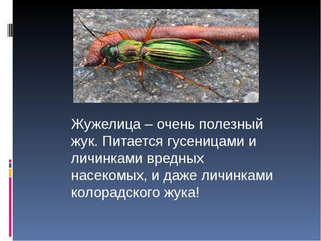 Жужелица – очень полезный жук. Питается гусеницами и личинками вредных насек...
