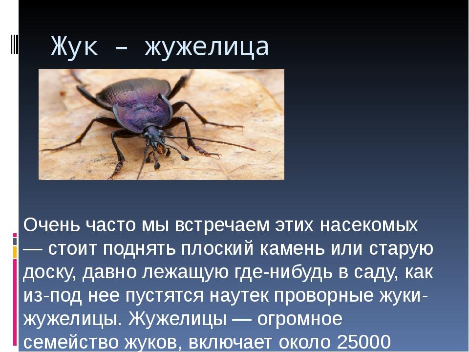 Жук – жужелица Очень часто мы встречаем этих насекомых — стоит поднять плоски...