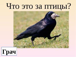 Что это за птицы? Грач