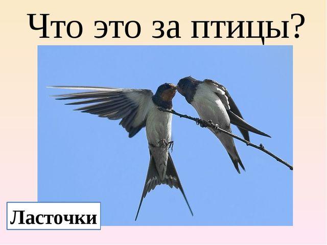 Что это за птицы? Ласточки