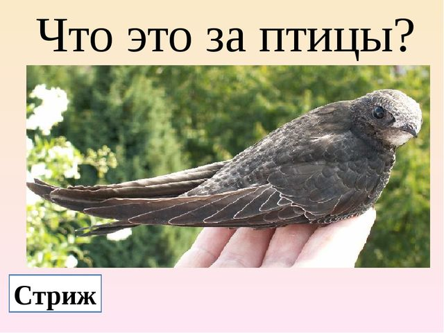 Что это за птицы? Стриж