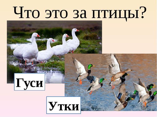Что это за птицы? Гуси Утки