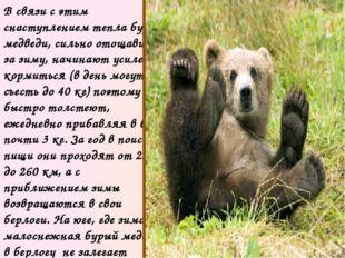 С осени бурый медведь залегает в берлогу. Зимние квартиры звери устраивают в