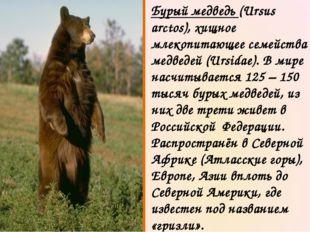 Бурый медведь (Ursus arctos), хищное млекопитающее семейства медведей (Ursida