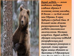 Бурый медведь — лесное животное, живущее главным образом в сплошных лесных ма