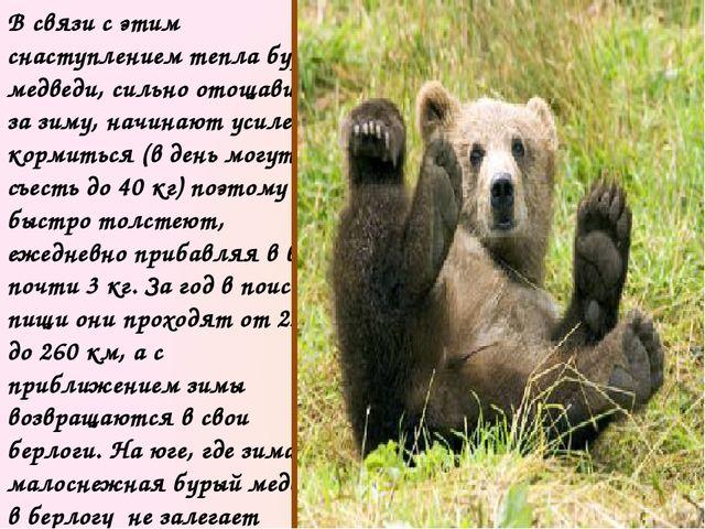 С осени бурый медведь залегает в берлогу. Зимние квартиры звери устраивают в...