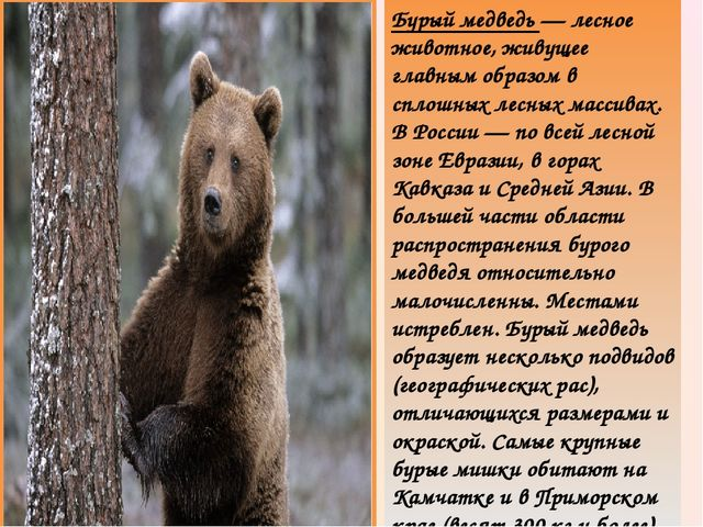 Бурый медведь — лесное животное, живущее главным образом в сплошных лесных ма...