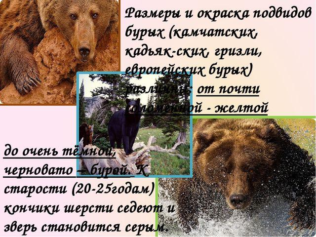Размеры и окраска подвидов бурых (камчатских, кадьяк-ских, гризли, европейски...