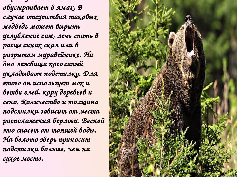 Зимний сон бурого медведя неглубок, в случае опасности животное просыпается и...