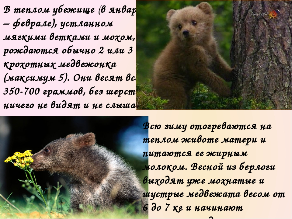 Вообще, они доставляют медведице много хлопот: убегают, лазят по деревьям и д...