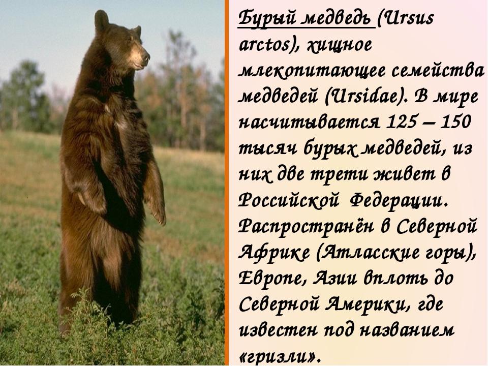 Бурый медведь (Ursus arctos), хищное млекопитающее семейства медведей (Ursida...
