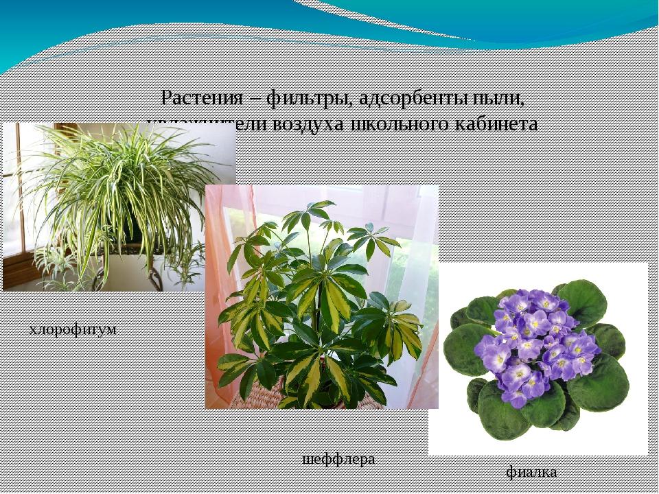 Растения – фильтры, адсорбенты пыли, увлажнители воздуха школьного кабинета х...