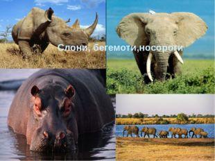 Слони, бегемоти,носороги