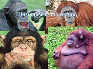 Шимпанзе й орангутан,