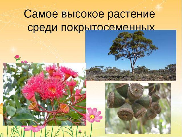 Самое высокое растение среди покрытосеменных