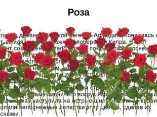 Роза Согласно древнегреческой легенде Афродита появилась на свет, выйдя из мо