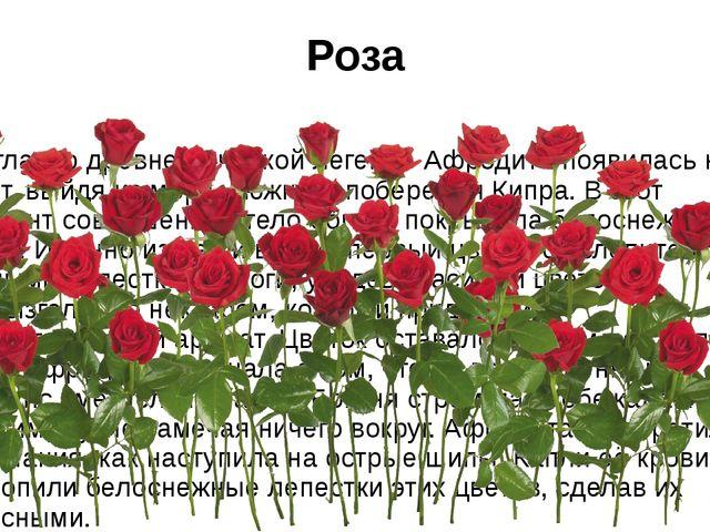 Роза Согласно древнегреческой легенде Афродита появилась на свет, выйдя из мо...