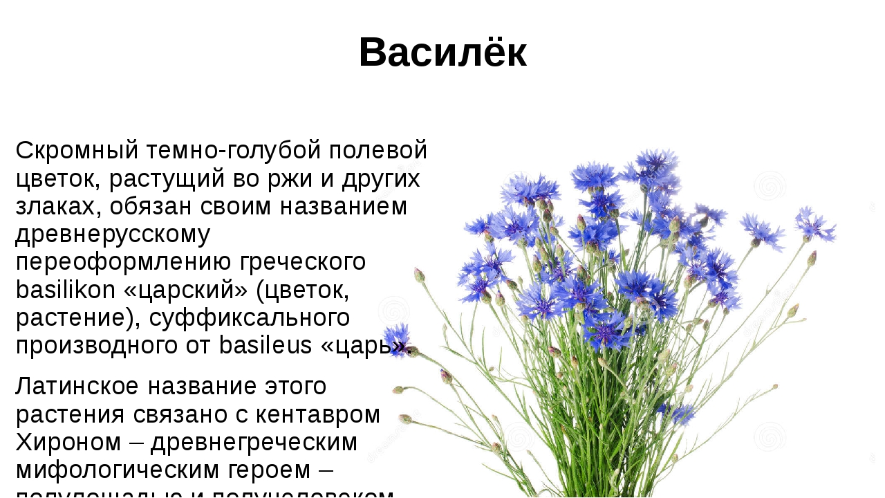 Василёк Скромный темно-голубой полевой цветок, растущий во ржи и других злака...