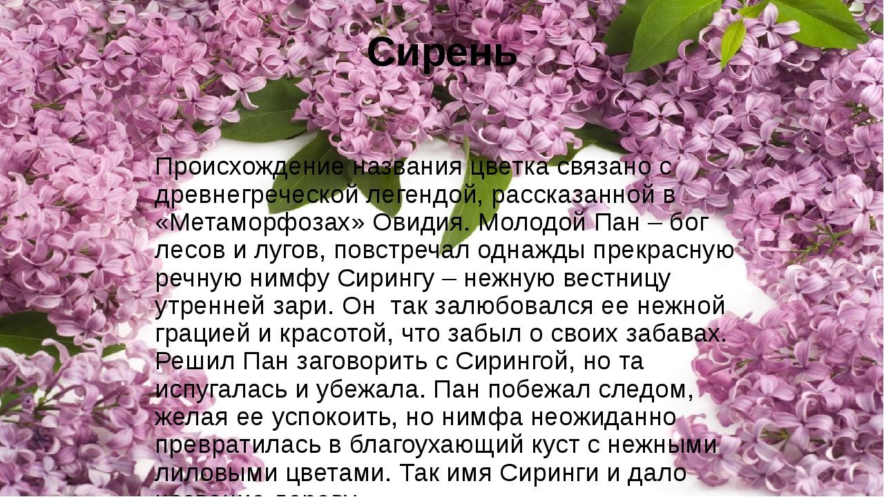 Сирень Происхождение названия цветка связано с древнегреческой легендой, расс...