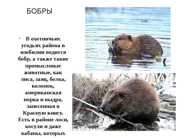 БОБРЫ В охотничьих угодьях района в изобилии водится бобр, а также такие пром...