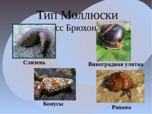 Тип Моллюски Класс Брюхоногие Конусы Слизень Виноградная улитка Рапана