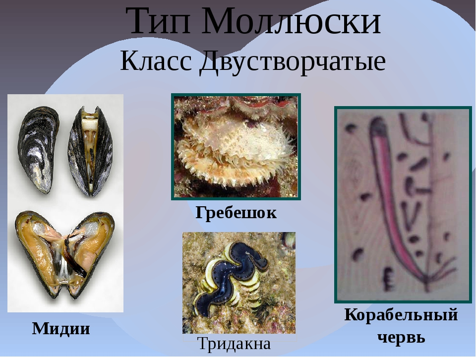 Тип Моллюски Класс Двустворчатые Тридакна Мидии Гребешок Корабельный червь