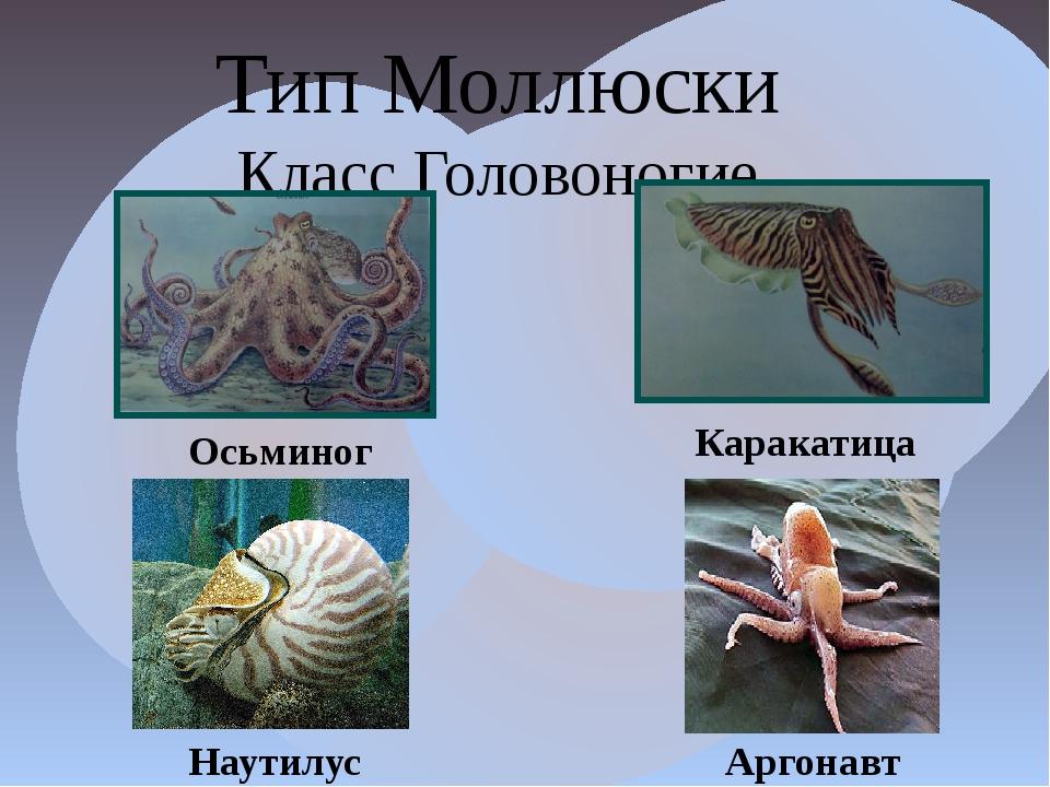Тип Моллюски Класс Головоногие Осьминог Каракатица Наутилус Аргонавт
