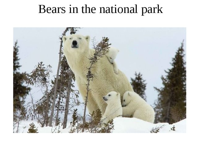 Bears in the national park