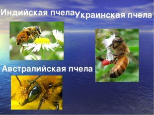 Индийская пчела Украинская пчела Австралийская пчела