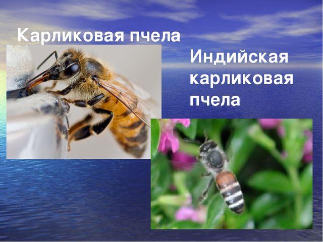 Карликовая пчела Индийская карликовая пчела